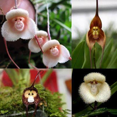 Monkey faced orchids: http://t.co/a49GcgV35V