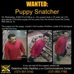 WANTED: Puppy Snatcher! Man put tiny Chihuahua puppy into his backpack and fled! Call #stpetepolice if you know him! http://t.co/yPUJL5jivn