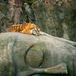 Tiger resting on Buddhas head [photographer unknown]. http://t.co/NnuM5IQDZb