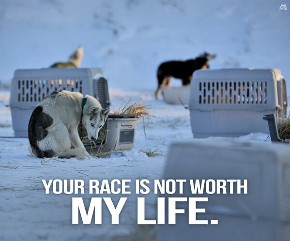 HEARTBREAKING: Dogs who aren't fast enough for the #Iditarod dogsled race are usually KILLED