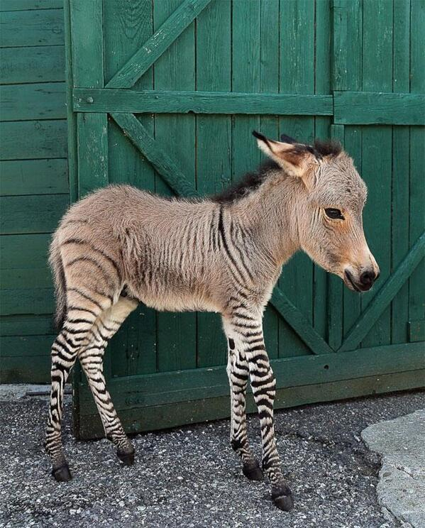 Baby Zonkey: http://t.co/0ESV3m1tsC