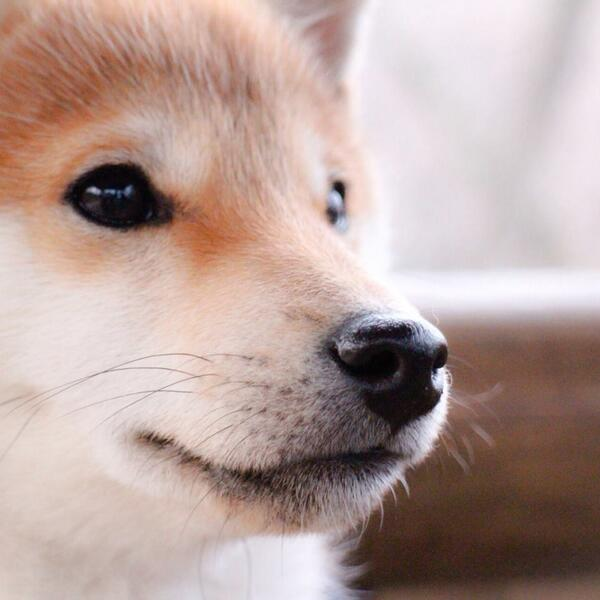 じ~ http://t.co/UOVUG8LCXw #柴犬 #shiba #犬 #dog