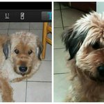 LOST DOG - #OTTAWA: Carson Rd (east end). Bear is still missing - escaped from yard. 613-276-6628 @OttawaLostDogs http://t.co/CKCZBKdIrI