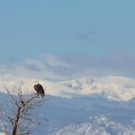 RT @TonysTakes: What could be better? A bald eagle with our beautiful #Colorado Rockies serving as a backdrop. #cowx http://t.co/vqRnUt1Fnx