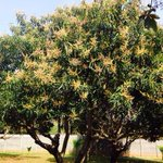 Sunday... In my farm.. Look how our mango tree has bloomed with a promise of lovely mangoes this season. Yummmm