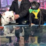 RT @HamiltonPug: Bacon tops the news on todays Good Morning America, right @Beefythebulldog?? Cc: @GMA http://t.co/sORxAIGXRa
