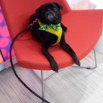RT @GMA: .@HamiltonPug is so ready for our reveal... http://t.co/7syVUtWw6i