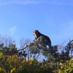 RT @chesterzoo: What do you call a #bear up a tree...? Quite the spectacle! #Frankathebear #blueskies #sunshine http://t.co/zZD2MfugIu