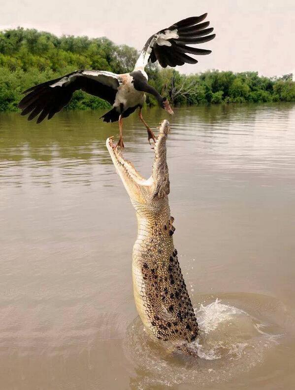 Oops. Croc missed breakfast this morning!  Timely shot via @beatadarek https://t.co/PJHlkV8Flo