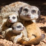 Perth Zoo has some cute new residents. http://t.co/g8F1oV54MP #perthnews http://t.co/pwCxMdaq2f