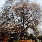 saw this divine tree blossomed in annapoorna studios .. Felt blessed beneath it. Bliss!!! sharing the moment with u