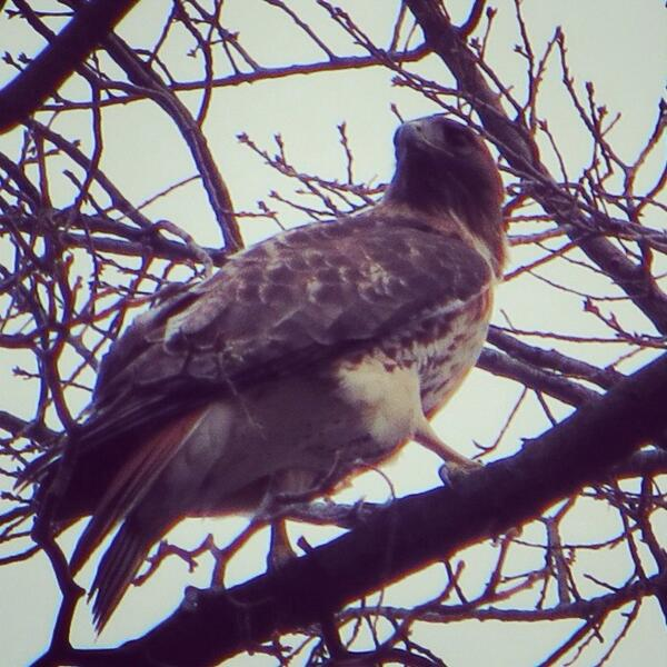 RT @Wildlife_of_NYC: Red-tail hawk on the grounds of NYC's Cathedral of St. John the Divine. http://t.co/DyINJHBWeZ