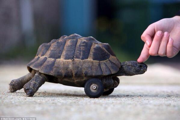 This tortoise was given wheels after his front legs were gnawed off by rats while hibernating underground. http://t.co/ryMHXutEEh