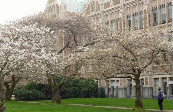 2014 @UW cherry tree watch: Bloom at 15 percent mark: http://t.co/ygZ106FmDU http://t.co/ohs6h8xcmP