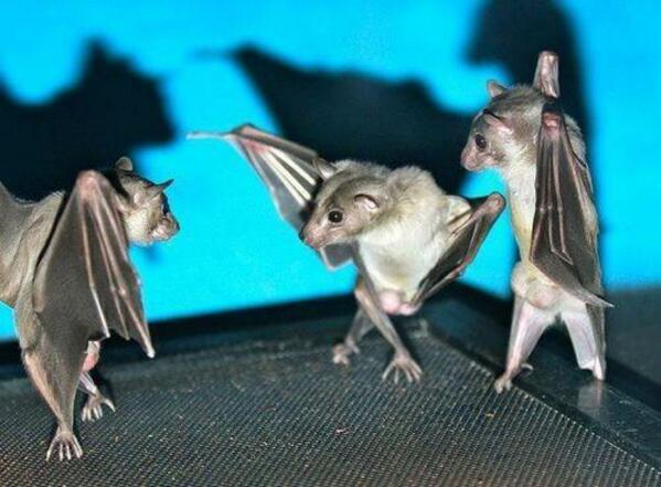 MT @TabathaSouthey If you flip a photo of bats hanging upside down, they look like they're having a wicked dance-off. http://t.co/DSGVXmFZyH