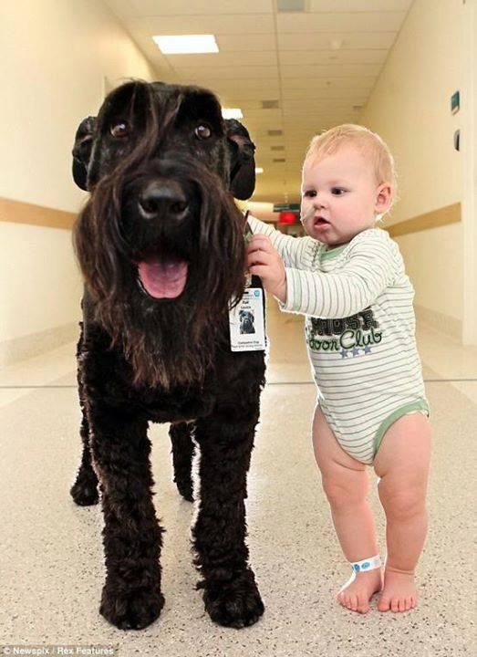 The giant Schnauzer who helps children to walk as he does his hospital rounds. http://t.co/auZhVlZv3L