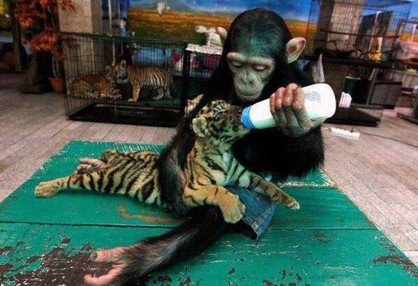 Two-year-old chimpanzee Do Do feeds milk to Aorn, a 60-day-old tiger cub. http://t.co/L5GzIQSrW9