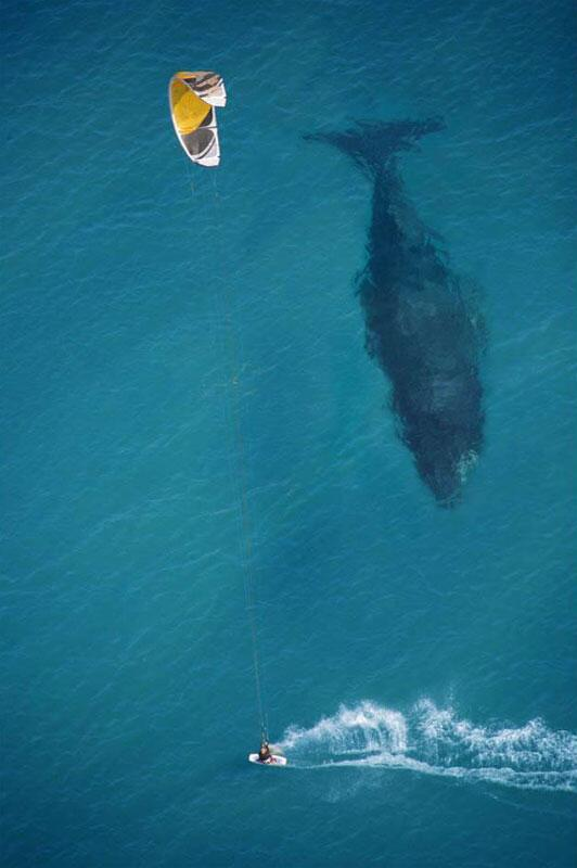 RT @zaibatsu: Kite Surfing When All Of a Sudden, A Whale! Photograph by Michael Swaine #photo http://t.co/7QOL4Cgwxu