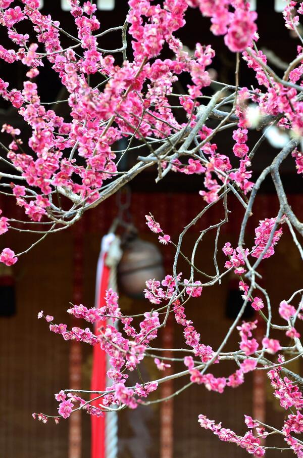 梅薫る京の季節。京都各地で梅が見頃を迎えています。 (北野天満宮3月15日撮影) http://t.co/pkukaPHRoP