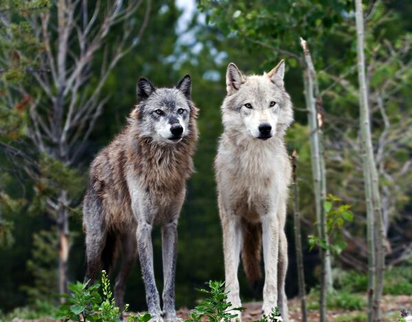 Major discovery: Wolves help trees grow, rivers flow, countless species flourish (video) http://t.co/ZBqpK88GVf http://t.co/atKgkT728G