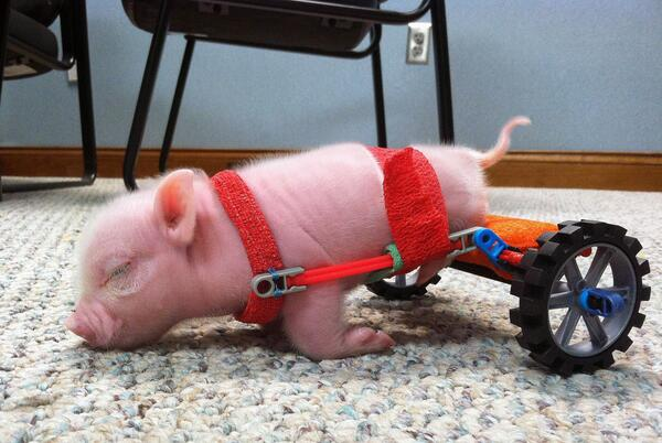 A Florida vet gave piglet w/ unusable back legs new shot at life http://t.co/obnqCfbYfD #MyBionicPet http://t.co/jEeWkmgJwT