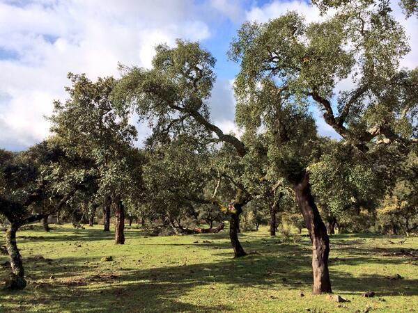 la dehesa extremeña tiene más 300.000 hectáreas de bosque, el mayor de España. #RutaJamonExtremadura http://t.co/E0AZNo7u2R