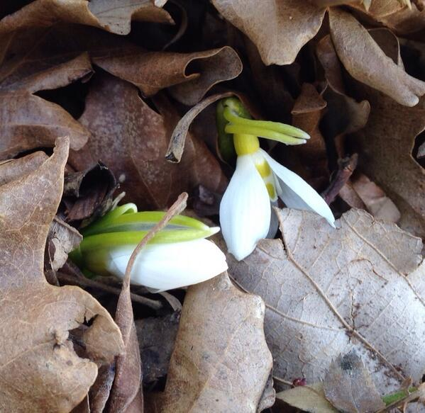 Snowdrops are emerging! Maybe there will be a spring. #ohio #gatden http://t.co/8kxk5tnxac