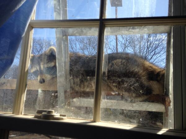 Here's a picture of a raccoon sunning itself on a ladder outside my 2nd story bathroom window. Country livin', y'all http://t.co/nsTqgZH7C4