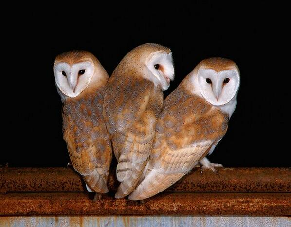 Lovely photo from @Kevin_WWS is on the cover of our 'Barn Owl Conservation Handbook': http://t.co/Z9TTit9Y7X http://t.co/pdACw6qWzJ