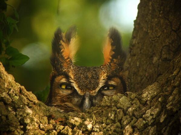 MT @interior: #owl photo: a great horned owl taken by a @USGS employee in #Louisiana. http://t.co/4w2lJXVdFs