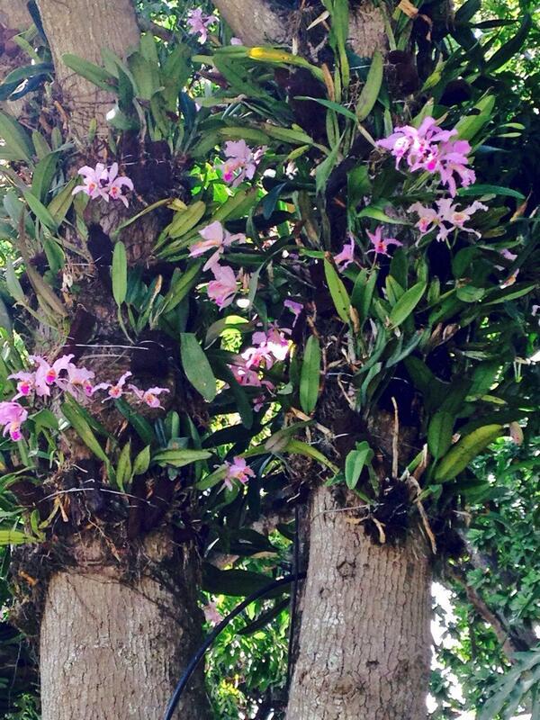 La Orquídea, flor nacional de Venezuela (Cattleya Mossiae) florecen en nuestros árboles de mango en #losgalpones http://t.co/90GCPv7on4