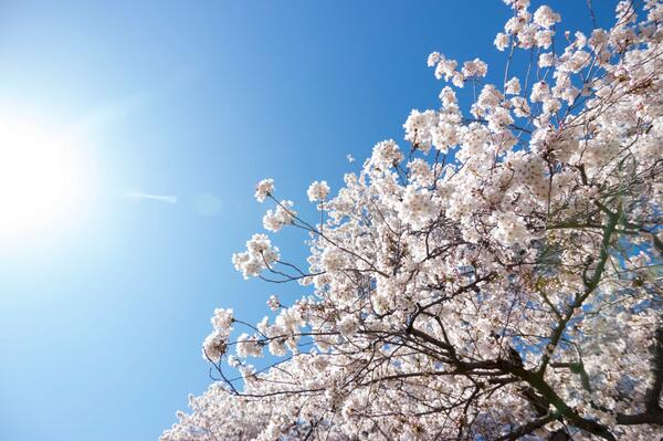 Don't miss this sakura treat in Seattle —all 31 @uwcherryblossom trees are in full bloom: http://t.co/xqKgrTj8Ho