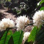 RT @KodaguConnect: Coffee blossom season in Kodagu. (Photo: Ananth Shayana)