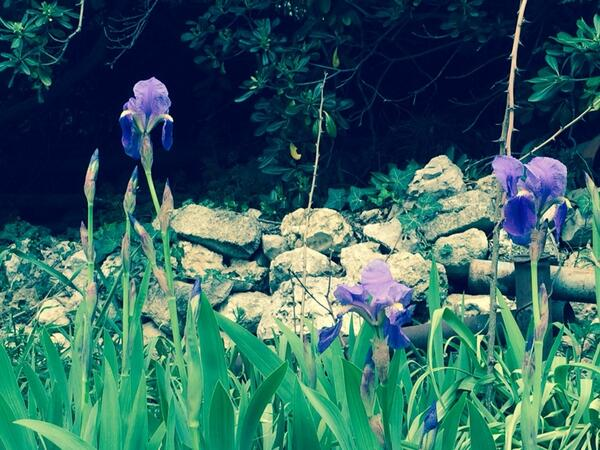 Van Gogh irises in bloom in Provence http://t.co/20gXHQiMHJ