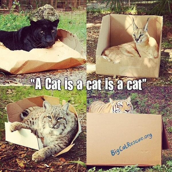 If I Fits I Sits! :) #catsofinstagram #bigcats #boxes #cats #love #tigers #lions #leopards http://t.co/xbIPoE4zh8