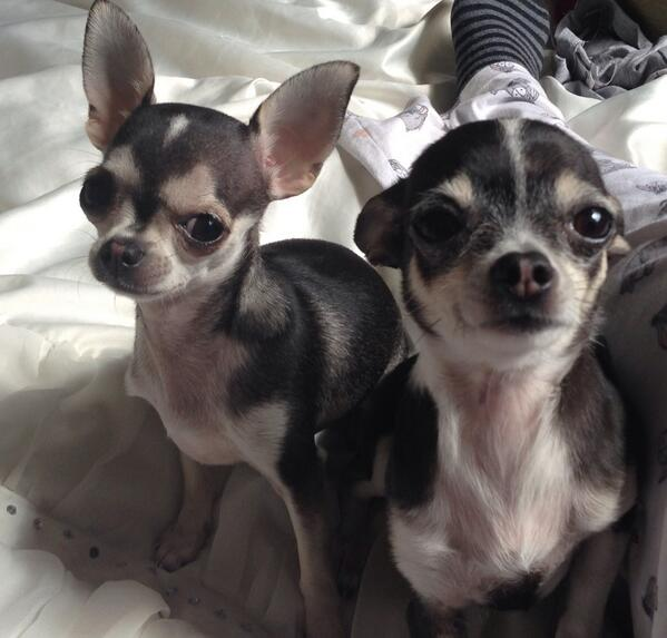 Lori (@OnlyLittleLori): £1000 CASH REWARD 4 any1 that can return my stolen Chihuahuas 2 me or any info leading to there safe return! RT RT http://t.co/TfuJpzJxvT