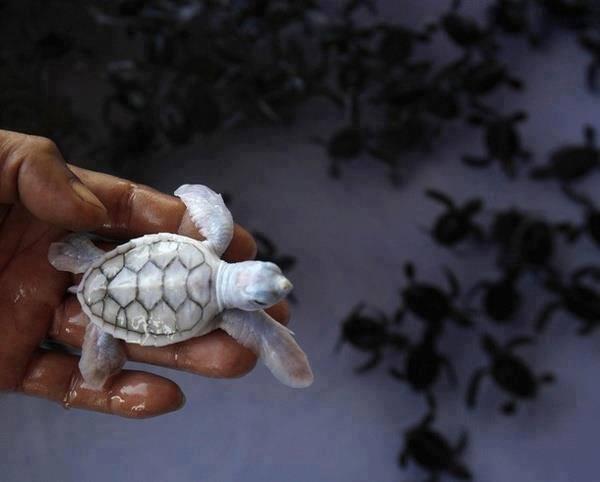 Albino baby sea turtle in Khram Island, Thailand: http://t.co/Qzgwf26c8u