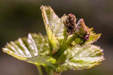 An early bud break across most of California including Napa, Sonoma counties: http://t.co/Bj4zTG9Ko9 http://t.co/WT7zBsmcRh