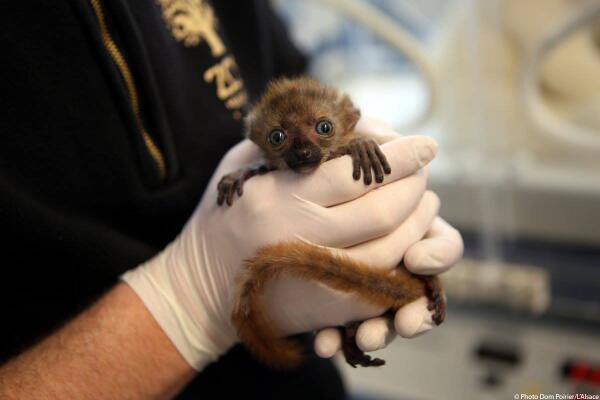 Nouvelle petite naissance au zoo de Mulhouse ! Bienvenue à Olanna !! ;-) http://t.co/fEQ7TJmUq6