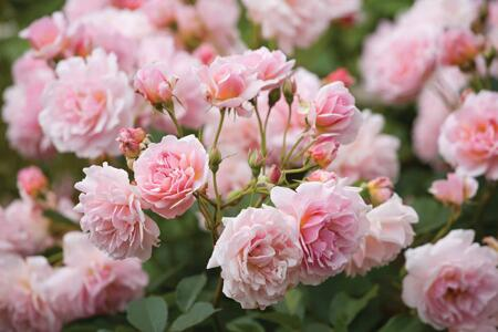Discover Sarah's tips for how to plant and grow roses... http://t.co/duR36NfbT5 http://t.co/109qdyNczy