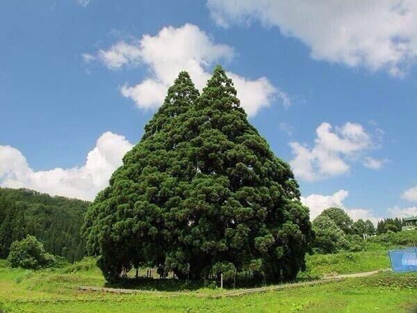 トトロの木!雲が動いているように見えませんか?