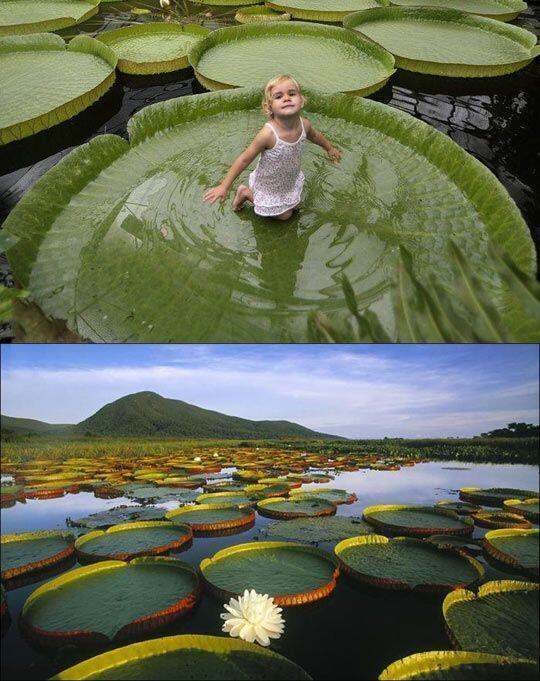 RT if you want to sit in a giant lily pad on the amazon river: http://t.co/o5zRYrup3h