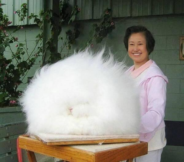 This is Angora rabbit. The world's fluffiest bunny. http://t.co/delyeKwxgz
