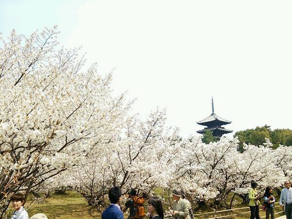 御室桜は一気に満開になりそうな勢いてす。見頃になりましたよ! http://t.co/txbQc53C9R