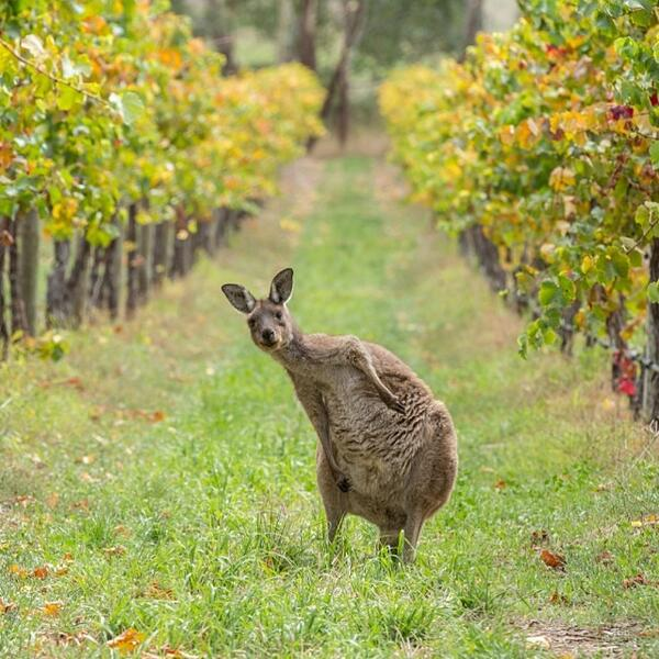 Are you here for the winery tour? @gregorsnell spotted this kangaroo in the Adelaide Hills #restaurantaustralia http://t.co/RrznPLg5KG