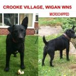 RT @FindOurPup: MISSING black male Patterdale Terrier Last seen #Crooke Village #wigan 6 Feb 2014. Hav U seen this dog? #HelpFindThem http://t.co/nWaaxLSdch