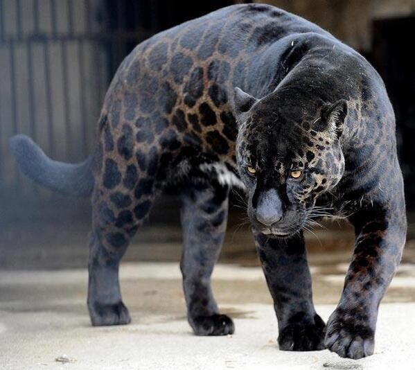 One of the rarest animals on the planet, the black panther http://t.co/9s0D3pOcIA