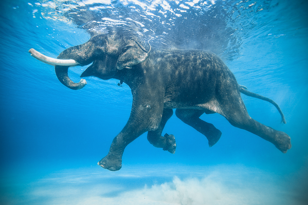 Rajan is one of the few salt water swimming elephants on Earth. http://t.co/LOosW6SA3K