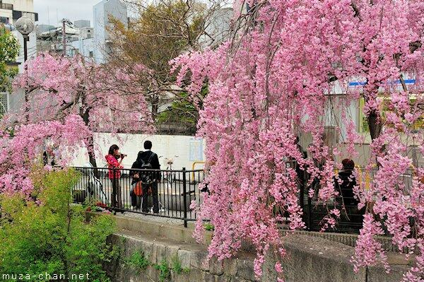 Simply beautiful Japanese scenes, cherry blossoms in Kyoto http://t.co/4WNU0fb0dV #sakura #Japan http://t.co/WwOZdvyBXL