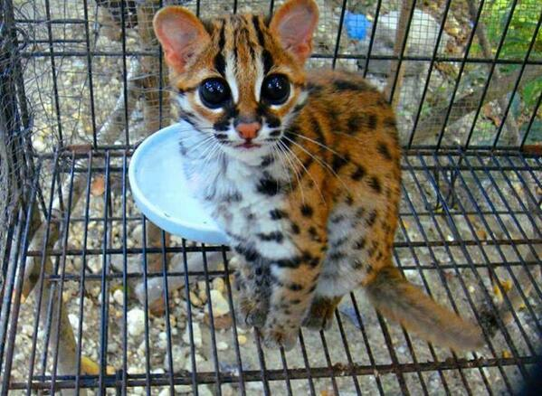 This is a picture of Baby Ocelot: http://t.co/NMP5MBOIHQ